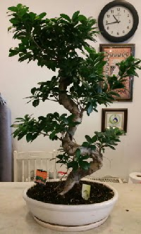 100 cm yüksekliğinde dev bonsai japon ağacı  Ankara İnternetten çiçek siparişi