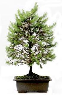 *** STOKTA YOK - Çam ağacı bonsai bitkisi satışı  Ankara cicekciler , cicek siparisi