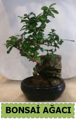Bonsai ağacı japon ağacı satışı  Ankara hediye çiçek yolla