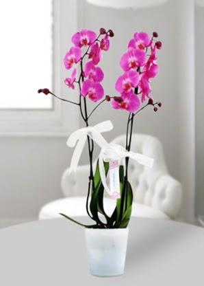 Çift dallı mor orkide  Ankara çiçekçiler