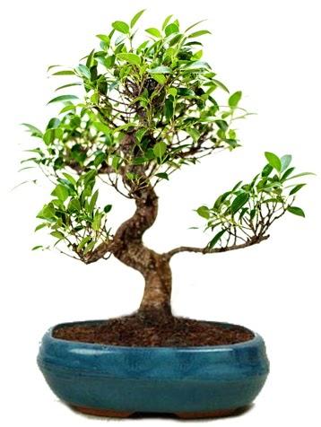25 cm ile 30 cm aralığında Ficus S bonsai  Ankara çiçek gönderme sitemiz güvenlidir