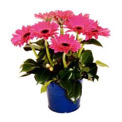 vazo içerisinde gerbera çiçekleri   Ankara online çiçek gönderme sipariş