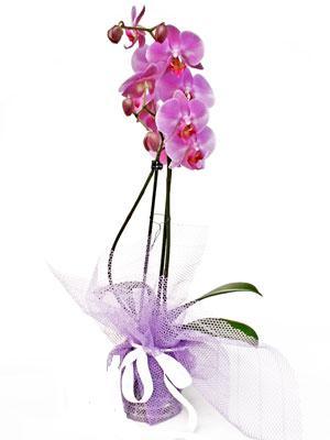 Ankara anneler günü çiçek yolla  Kaliteli ithal saksida orkide