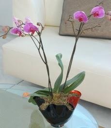 Ankara çiçekçi mağazası  tek dal ikili orkide saksi çiçegi