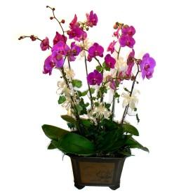 Ankara cicek , cicekci  4 adet orkide çiçegi
