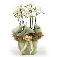 Ankara çiçek siparişi sitesi  3 dal orkide , saksi çiçegi , 3 kök orkide
