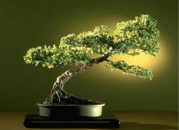 ithal bonsai saksi çiçegi  Ankara çiçekçi mağazası