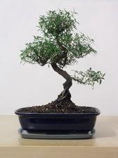 ithal bonsai saksi çiçegi  Ankara çiçek siparişi vermek