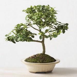 ithal bonsai saksi çiçegi  Ankara çiçek online çiçek siparişi