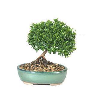ithal bonsai saksi çiçegi  Ankara cicekciler , cicek siparisi