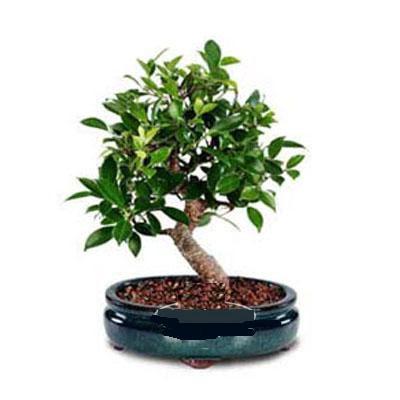 ithal bonsai saksi çiçegi  Ankara çiçek siparişi sitesi