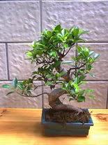 ithal bonsai saksi çiçegi  Ankara hediye sevgilime hediye çiçek