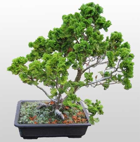 ithal bonsai saksi çiçegi  Ankara İnternetten çiçek siparişi
