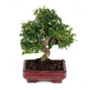 ithal bonsai saksi çiçegi  Ankara anneler günü çiçek yolla