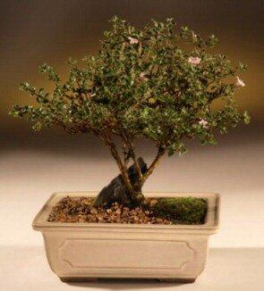 ithal bonsai saksi çiçegi  Ankara çiçek mağazası , çiçekçi adresleri