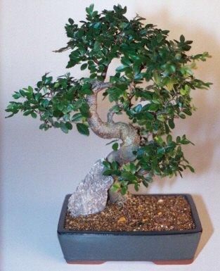 Ankara çiçek gönderme sitemiz güvenlidir  ithal bonsai saksi çiçegi  Ankara çiçek siparişi sitesi