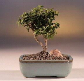 Ankara çiçek yolla  ithal bonsai saksi çiçegi  Ankara internetten çiçek satışı