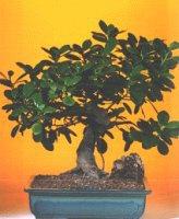 Ankara çiçekçi telefonları  ithal bonsai saksi çiçegi  Ankara internetten çiçek siparişi