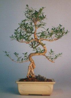 Ankara çiçek satışı  ithal bonsai saksi çiçegi  Ankara çiçek siparişi vermek