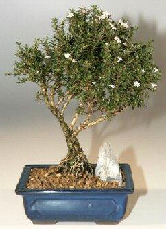 Ankara çiçek , çiçekçi , çiçekçilik  ithal bonsai saksi çiçegi  Ankara online çiçek gönderme sipariş