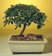 Ankara ucuz çiçek gönder  ithal bonsai saksi çiçegi  Ankara cicek , cicekci
