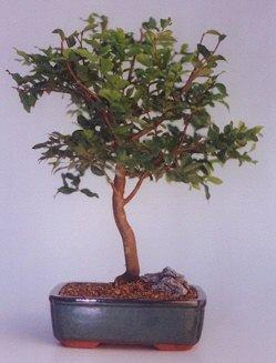 Ankara ucuz çiçek gönder  ithal bonsai saksi çiçegi  Ankara anneler günü çiçek yolla