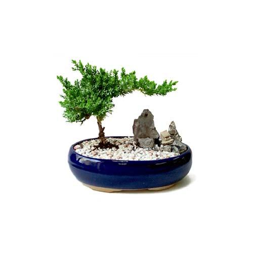 ithal bonsai saksi çiçegi  Ankara çiçek gönderme
