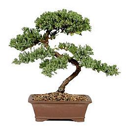 ithal bonsai saksi çiçegi  Ankara çiçek gönderme sitemiz güvenlidir