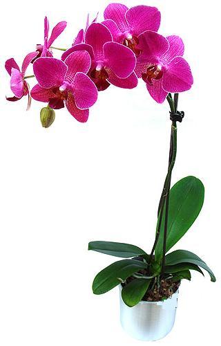 Ankara çiçekçi mağazası  saksi orkide çiçegi