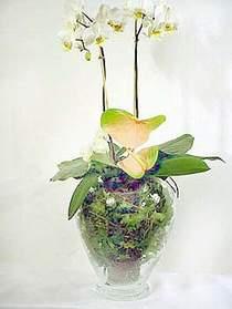 Ankara çiçek satışı  Cam yada mika vazoda özel orkideler