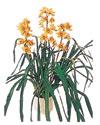 Ankara çiçekçiler  Orchiede ithal büyük boy saksi