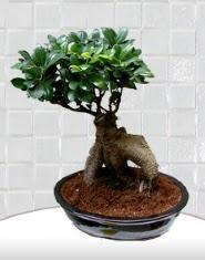 saksı çiçeği japon ağacı bonsai  Ankara kaliteli taze ve ucuz çiçekler