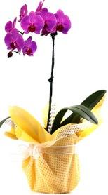 Ankara çiçek siparişi sitesi  Tek dal mor orkide saksı çiçeği