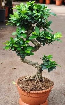Orta boy bonsai saksı bitkisi  Ankara internetten çiçek siparişi
