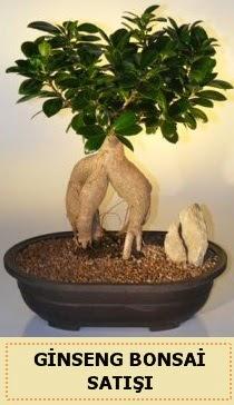 İthal Ginseng bonsai satışı japon ağacı  Ankara çiçek siparişi sitesi