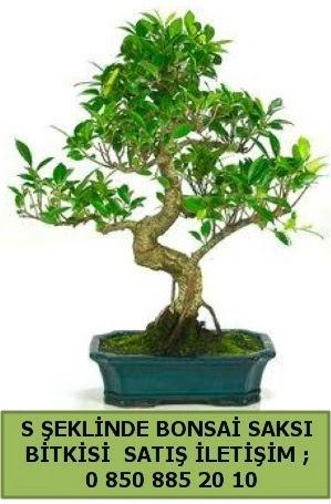 İthal S şeklinde dal eğriliği bonsai satışı  Ankara çiçek gönderme