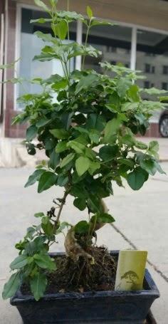 Bonsai japon ağacı saksı bitkisi  Ankara çiçek siparişi vermek