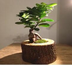 Doğal kütükte Bonsai japon ağacı satışı  Ankara internetten çiçek satışı
