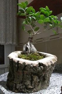 Ahşap kütük içerisinde ginseng bonsai  Ankara internetten çiçek siparişi