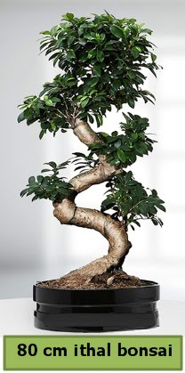 80 cm özel saksıda bonsai bitkisi  Ankara çiçekçi telefonları