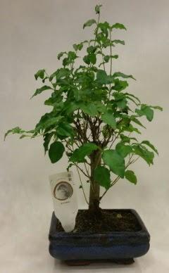 Minyatür bonsai japon ağacı satışı  Ankara çiçekçi telefonları
