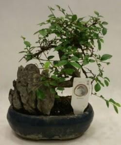 İthal 1.ci kalite bonsai japon ağacı  Ankara çiçek satışı