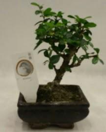 Küçük minyatür bonsai japon ağacı  Ankara çiçek gönderme