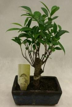 Japon ağacı bonsai bitkisi satışı  Ankara çiçekçi telefonları