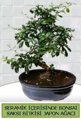 Seramik vazoda bonsai japon ağacı bitkisi  Ankara çiçek siparişi sitesi