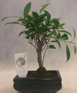 Bonsai japon ağacı bitkisi satışı  Ankara çiçek gönderme sitemiz güvenlidir