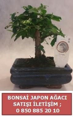 Japon ağacı minyaür bonsai satışı  Ankara çiçek satışı