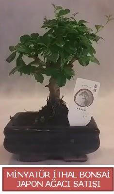 Küçük görsel bonsai japon ağacı bitkisi  Ankara çiçek , çiçekçi , çiçekçilik