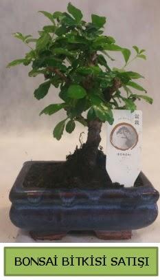 Bonsai ithal görsel minyatür japon ağacı  Ankara ucuz çiçek gönder