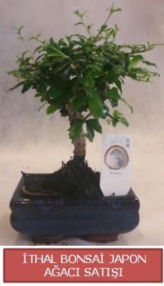 İthal küçük boy minyatür bonsai ağaç bitkisi  Ankara çiçekçi telefonları